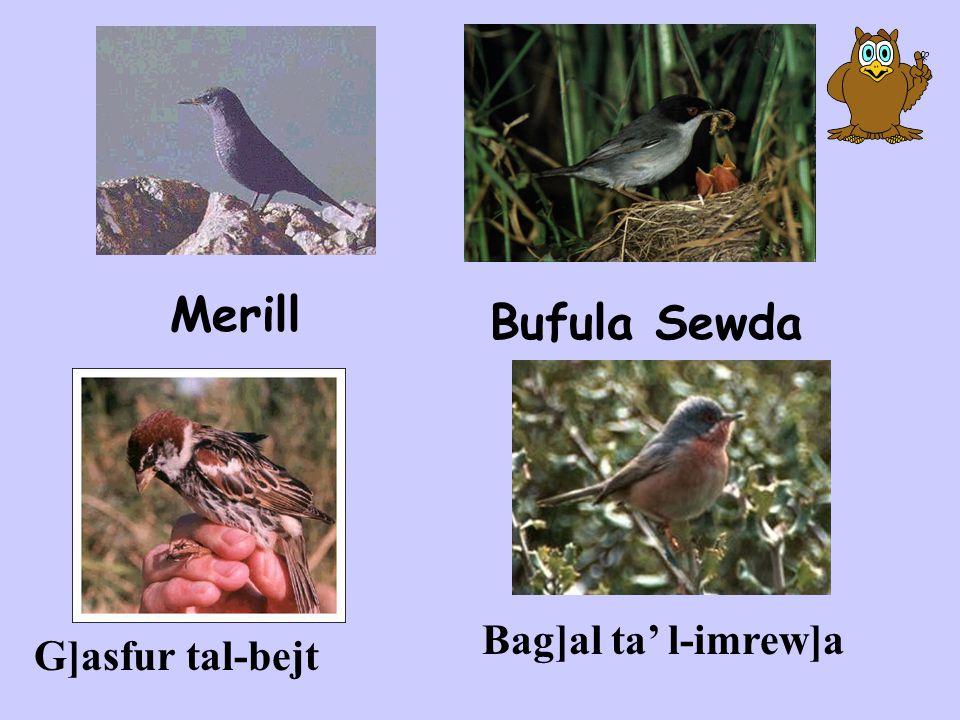 Merill Bufula Sewda Bag]al ta' l-imrew]a G]asfur tal-bejt